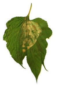 anthotype sur feuille jules verne